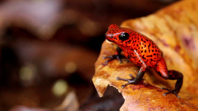 Poison Dart Frog Poison Dart Frog behavior amphibian stock videos & royalty-free footage