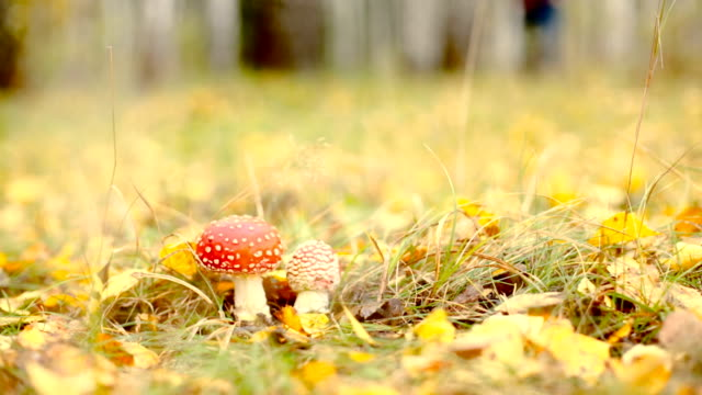 Poisonous amanita muscaria mushrooms in autumnal forest undergrowth dolly shot video