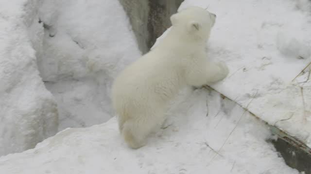 en isbjörnsunge klättra upp - polarklimat bildbanksvideor och videomaterial från bakom kulisserna