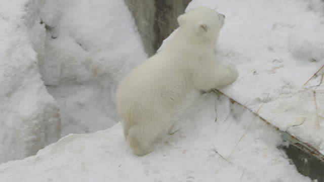 A polar bear cub climb up A polar bear cub climb up polar climate stock videos & royalty-free footage