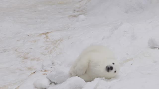 A polar bear cub plays in a snow in a winter video