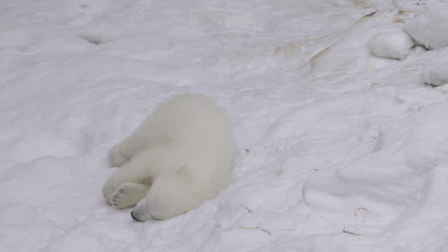 a polar bear cub rests and plays in a snow - bear stock videos and b-roll footage