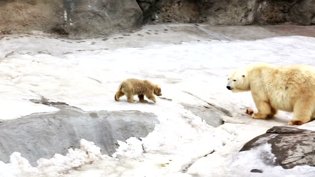 polar bear cub spring till mamma-björn - djurfamilj bildbanksvideor och videomaterial från bakom kulisserna