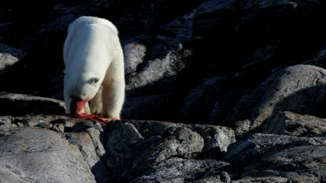 polar bear eating, front view