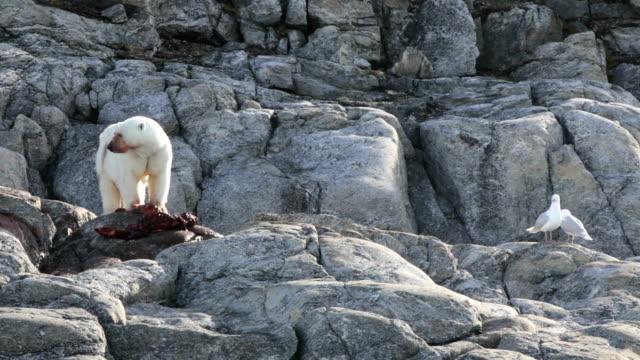 polar bear eating, seagulls waiting - polarklimat bildbanksvideor och videomaterial från bakom kulisserna
