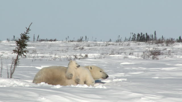 Polar Bear female with cubs on tundra Polar Bear Cubs (Ursus maritimus) mother with two three months old playful cubs at denning site, Wapusk N.P. Canada polar climate stock videos & royalty-free footage