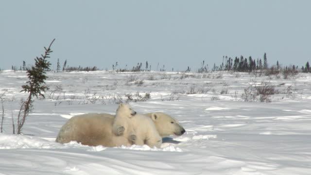 isbjörn hona med ungar på tundran - polarklimat bildbanksvideor och videomaterial från bakom kulisserna
