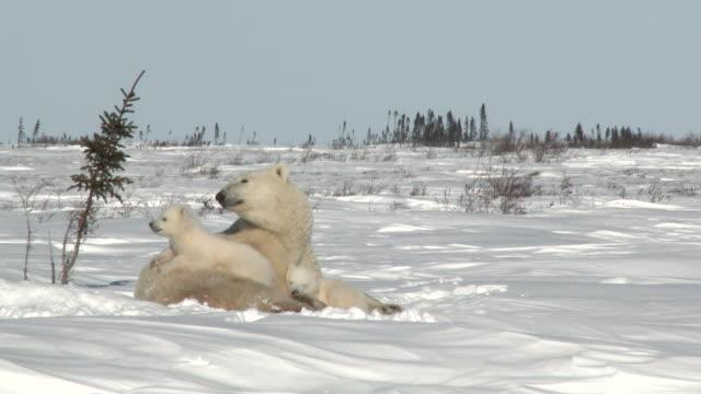 Polar Bear female with cubs on tundra