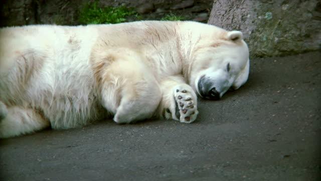 HD - Polar Bear Laying video