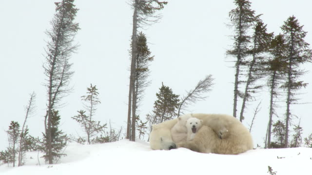 Polar Bear mother with cubs at denning site Polar Bear Cubs (Ursus maritimus) mother with two three months old playful cubs at denning site, Wapusk N.P. Canada bear stock videos & royalty-free footage
