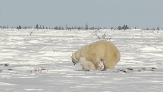 Polar Bear mother with three months old cub on Tundra.