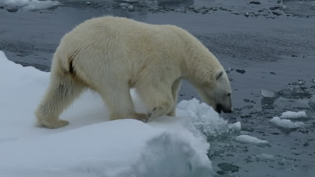 Polar Bear on ice Polar Bear slow motion bear stock videos & royalty-free footage