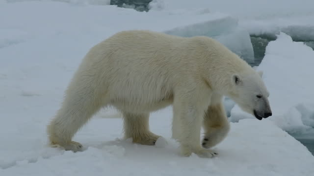Polar Bear on ice Polar Bear on the ice in Artctic bear stock videos & royalty-free footage