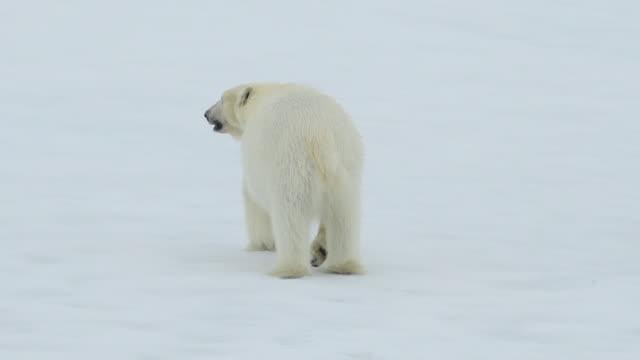 Polar Bear on ice Polar Bear on the ice in Artcic bear stock videos & royalty-free footage