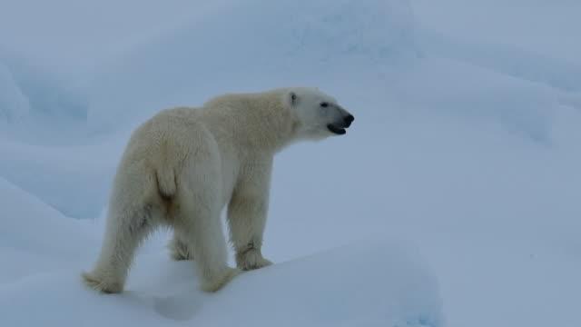 Polar Bear on ice Polar Bear on the ice in Artctic polar climate stock videos & royalty-free footage