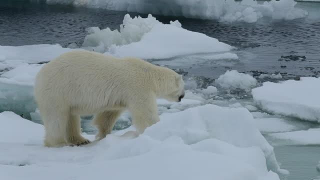 Polar Bear on ice Polar Bear on the ice in Artcic polar climate stock videos & royalty-free footage