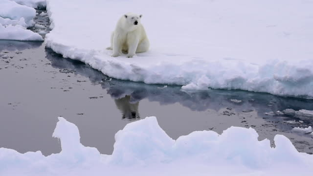 Polar bear on the ice Polar bear sits on the edge of ice and looks at the reflection in water polar climate stock videos & royalty-free footage