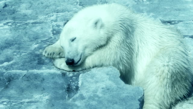 polar bear resting on an iceberg - bear stock videos and b-roll footage