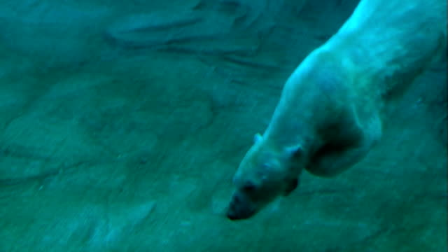 Polar Bear Swimming Underwater video