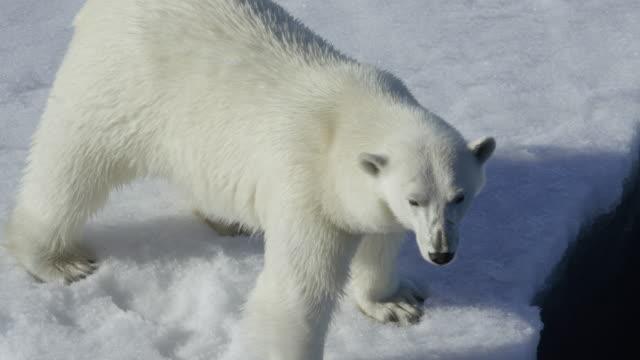 Polar bear Polar bear on ice polar climate stock videos & royalty-free footage