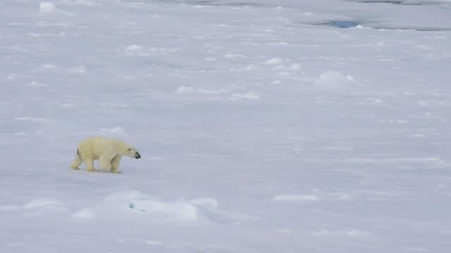 シロクマは北極で歩きます。 - クマ点の映像素材/bロール