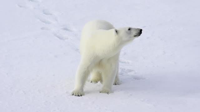 Polar bear walking in an arctic. Polar bear walking in an arctic landscape sniffing around. polar climate stock videos & royalty-free footage
