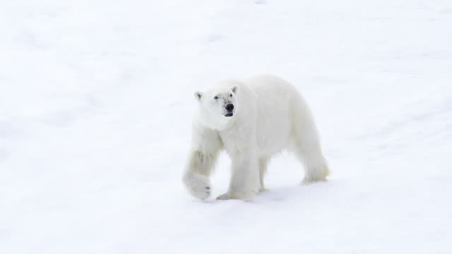 polar bear walking in an arctic. - bear stock videos and b-roll footage
