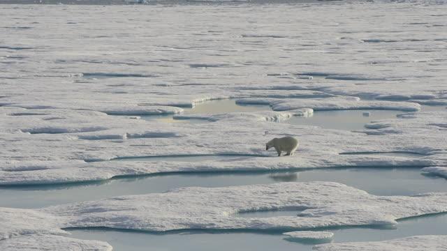 isbjörn promenader i en arktisk. - polarklimat bildbanksvideor och videomaterial från bakom kulisserna