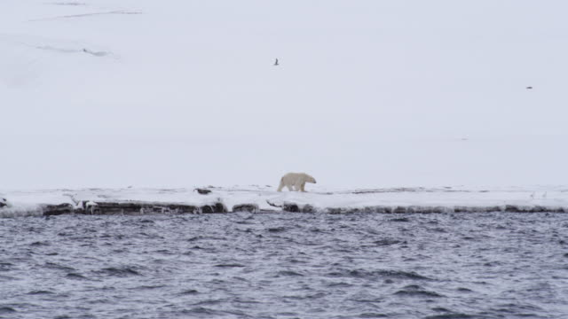 Polar Bear walking on snow covered shore, Svalbard Island, Norway