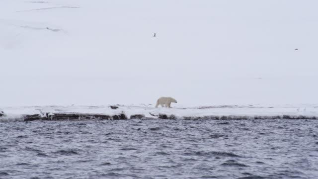 雪の上を歩くシロクマ覆われた海岸、スバールバル諸島島, ノルウェー - クマ点の映像素材/bロール
