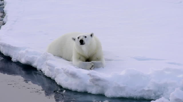 Polar bear walking on the ice. Polar bear walking on the ice in arctic landscape sniffing around. polar climate stock videos & royalty-free footage