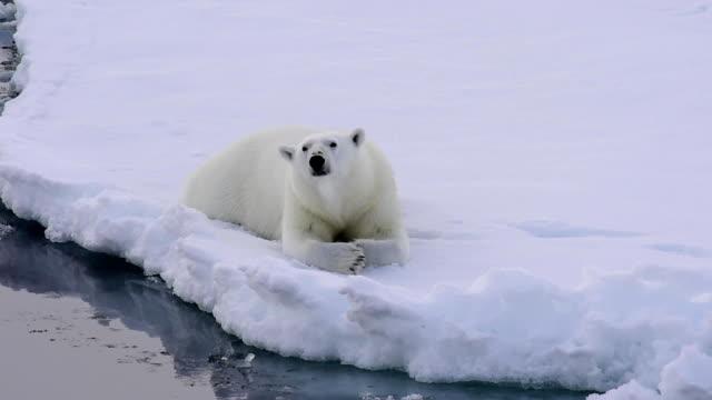 isbjörn gick på isen. - polarklimat bildbanksvideor och videomaterial från bakom kulisserna