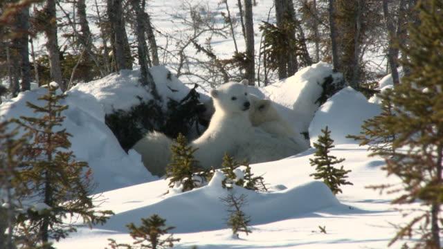 isbjörn (ursus maritimus) med ungar på denning platsen. - polarklimat bildbanksvideor och videomaterial från bakom kulisserna