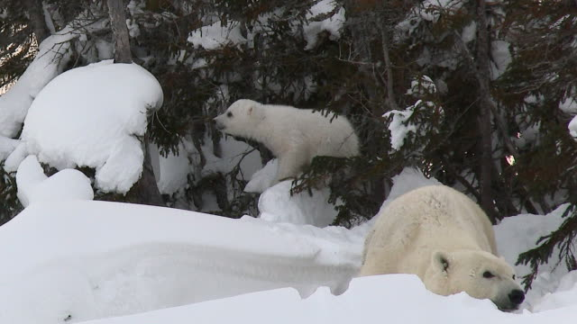 Polar Bear (Ursus maritimus) with cubs at denning site. Polar Bear (Ursus maritimus) mother with three months old cubs playing between trees, on Tundra. polar climate stock videos & royalty-free footage
