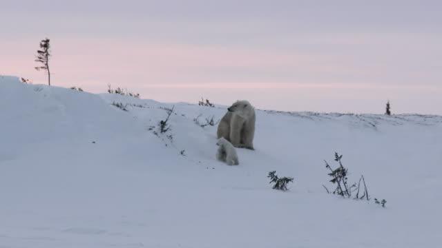 polar bear (ursus maritimus) with cubs at denning site. - молодое животное стоковые видео и кадры b-roll