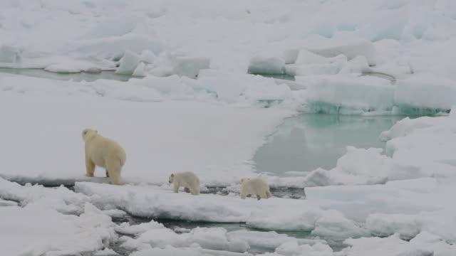 Polar Bear with cubs Polar Bear with cubs in the Arctic bear stock videos & royalty-free footage
