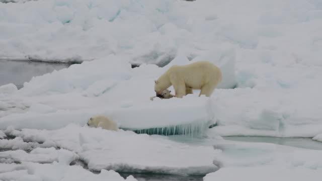 isbjörn med ungar - djurfamilj bildbanksvideor och videomaterial från bakom kulisserna