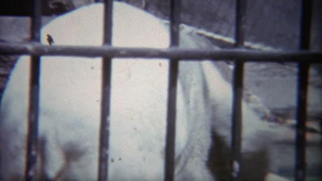1973: Polar bears fighting in small zoo pen. video