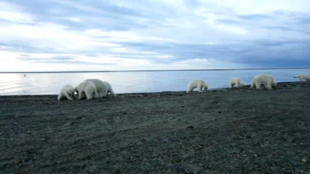 Polar Bears Polar Bears gather to feed on scraps of a Bow head Whale near Kaktovik on a barrier Island in the Beaufort Sea of Northern Alaska bear stock videos & royalty-free footage