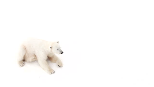 polar she-bear video