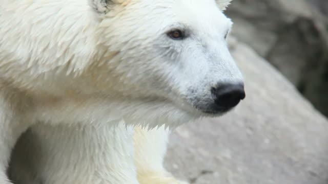 polarbear polarbear bear stock videos & royalty-free footage