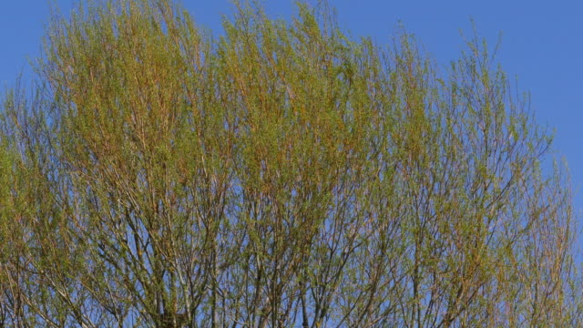 Pollard Willow, salix alba, Wind in the Leaves, Normandy, Real Time 4K video