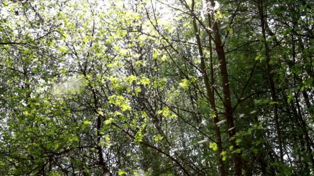 pollen and tree leaves in the forest - pollen bildbanksvideor och videomaterial från bakom kulisserna