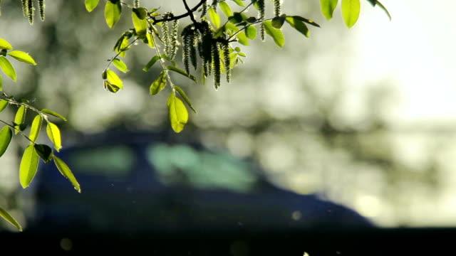 pollen och träd lämnar i vinden vid skymning och trafik i bakgrunden - pollen bildbanksvideor och videomaterial från bakom kulisserna
