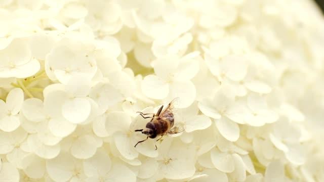 Pollen picking on Chrysanthemum