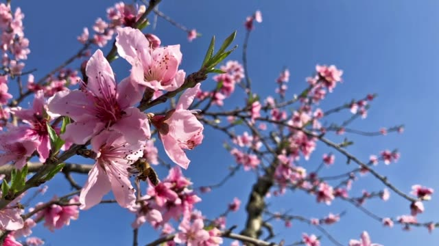 Pollinating bee on pink colored tree flowers in spring season on a blue sky background, slow motion footage. Pollinating bee on pink colored tree flowers in spring season on a blue sky background, slow motion footage. april stock videos & royalty-free footage