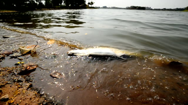 Polluted water and dead fish video