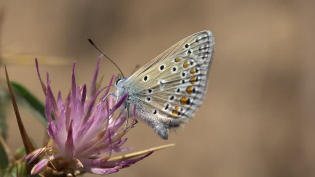 Polyommatus icarus Butterfly from Barcelona