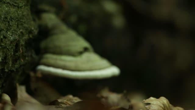 stockvideo's en b-roll-footage met polypore schimmel in de buurt van de bosbodem - infaden