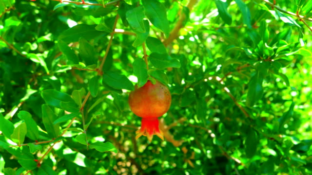 Pomegranate fruit on the tree branch a lot of leaves about video